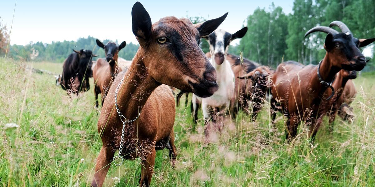 Koza domáca